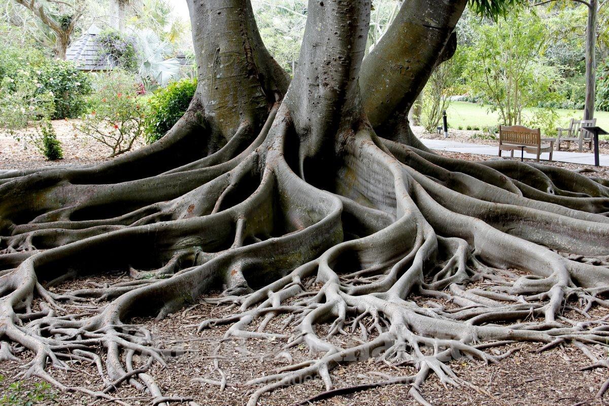copac cu radacini